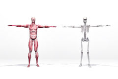 Muscles and skeleton vector illustration