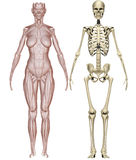 Muscles and skeleton woman Stock Images