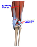 The muscles and tendons at the back of the knee Royalty Free Stock Image