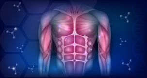 Muscles of the torso. Muscles of the human body, torso and arms, beautiful colorful illustration on an abstract blue background Royalty Free Stock Photography