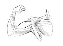 Muscoli del braccio Fotografia Stock