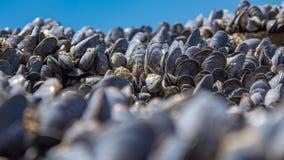Muscoli del mare sulle rocce Immagini Stock