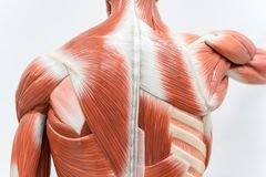 Muscoli del modello posteriore per istruzione di fisiologia immagini stock libere da diritti