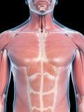 Muscoli del torace Fotografia Stock