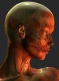 Muscoli della testa umana Fotografie Stock Libere da Diritti