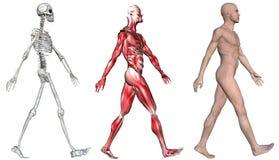 Muscoli di scheletro del maschio umano Fotografia Stock