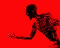 Muscoli sul corpo umano 18 Fotografie Stock