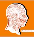 Muscoli umani del fronte (muscoli facciali) - IL medico del anatomie Fotografia Stock Libera da Diritti