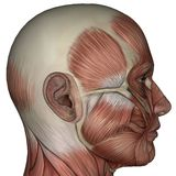 muscolo 3D dell'uomo Fotografia Stock