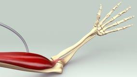 Muscolo del braccio Fotografia Stock Libera da Diritti