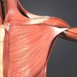 Muscolo del pettorale Fotografia Stock Libera da Diritti