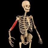 Muscolo dell'omero Fotografie Stock Libere da Diritti