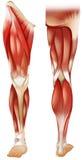 Muscolo della gamba royalty illustrazione gratis