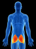 Muscolo inferiore evidenziato Immagini Stock Libere da Diritti
