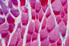 Muscolo scheletrico striato del campione istologico del tessuto del mammifero sotto il microscopio immagini stock libere da diritti