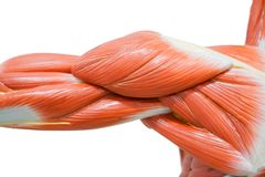 Muscolo umano delle mani fotografia stock