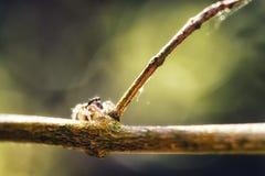 Muscosa de Marpissa d'araign?e photo stock
