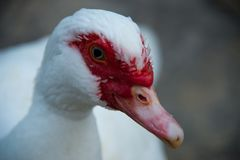 and muscovy Royaltyfria Bilder