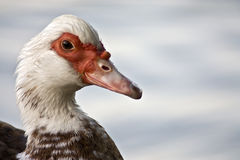 and muscovy Royaltyfria Foton