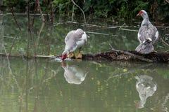 2 утки Muscovy стоковое изображение