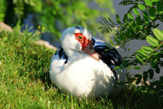 and muscovy Royaltyfri Bild