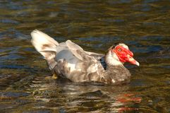 and muscovy Arkivfoton