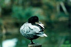 Muscovy Duck Stock Photos