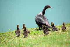 Muscovy Duck and Babies. 12 little Muscovy Duck Baby Chicks and Mama taking care of them stock images