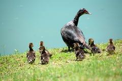 Muscovy Duck Baby Chicks y mamá femenina Imagenes de archivo