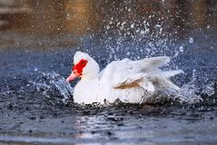 Muscovy duck bathing stock image