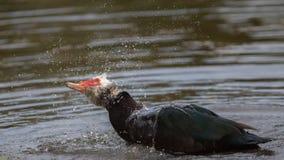 Muscovy Duck Bathing foto de archivo libre de regalías