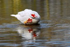 Muscovy duck bathing Stock Images