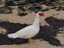 A Muscovy duck on the beach Stock Photo