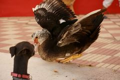 Muscovy duck being scared by a black dog. stock photo