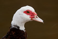 Muscovy Duck (Cairina moschata) Royalty Free Stock Photo