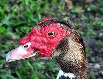 Muscovy Duck (Cairina moschata) Stock Photo