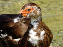 Muscovy Duck (Cairina moschata) Royalty Free Stock Images
