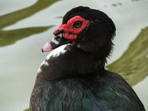 Muscovy Duck (Cairina moschata) Stock Images