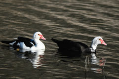 Muscovy Duck Stock Photo