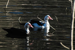 Muscovy Duck Royalty Free Stock Photo