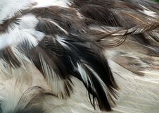 Muscovy Duck feathers  (Cairina moschata) Royalty Free Stock Images