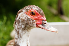 Muscovy duck Cairina moschata head macro view. soft focus Royalty Free Stock Image