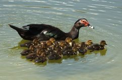 Muscovy Duck (Cairina moschata) Stock Photo