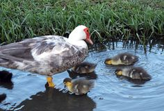 Muscovy Duck (Cairina moschata) Stock Photography