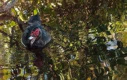 Muscovy duck Cairina moschata Stock Photo