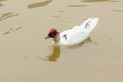 Muscovy Duck - Cairina moschata in river, thailand Stock Images