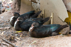 Muscovy duck or Cairina moschata sleep. Royalty Free Stock Photography
