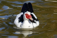 Muscovy Duck (Cairina moschata) Royalty Free Stock Image