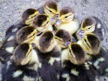 Muscovy duck chickens Stock Images