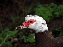 Muscovy duck close up shot Royalty Free Stock Images